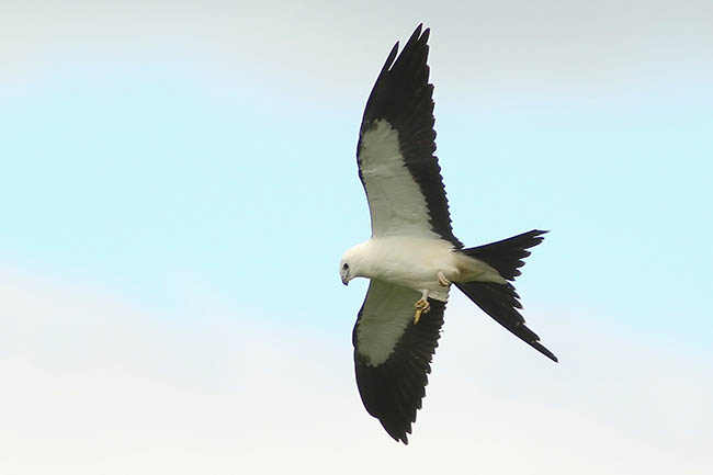 Maps show where to look for Swallow-tailed Kite