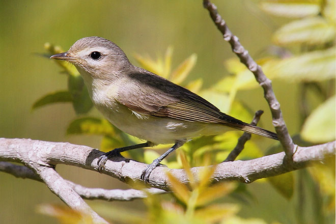 Maps track Warbling Vireo movements