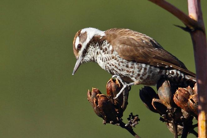 Arizona Woodpecker