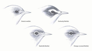 Bird eye-rings explained by David Allen Sibley