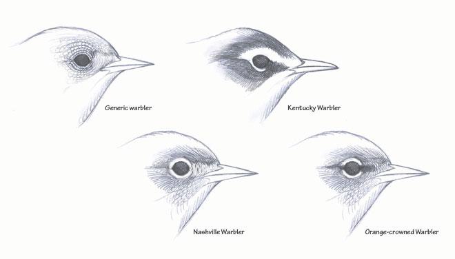 David Sibley explains eye-rings