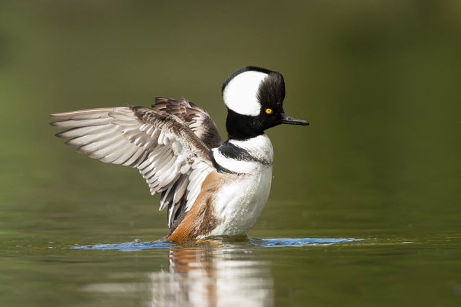 How the Hooded Merganser sparked a love of birds