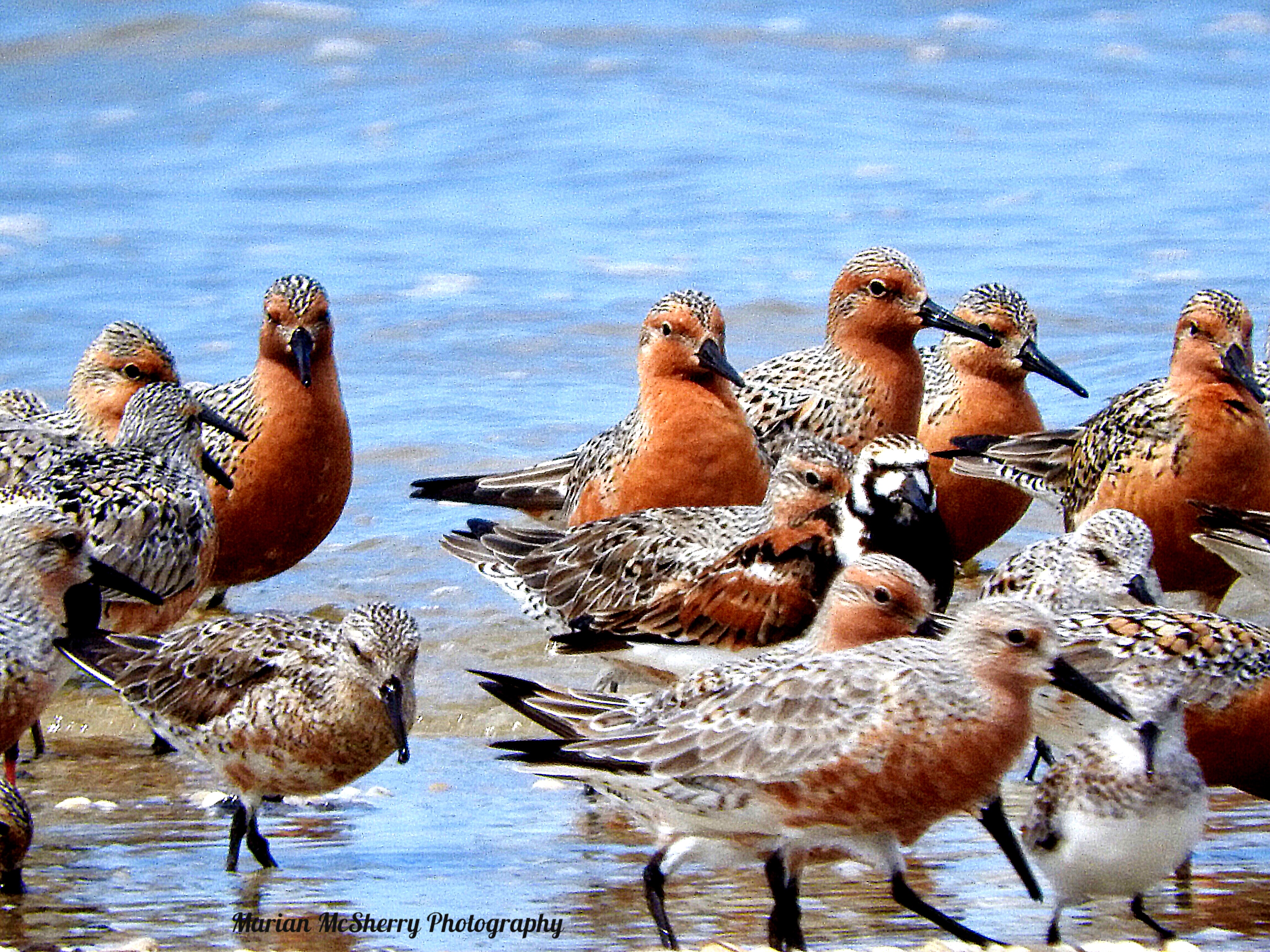 Red Knots and Ruddy Turnstone