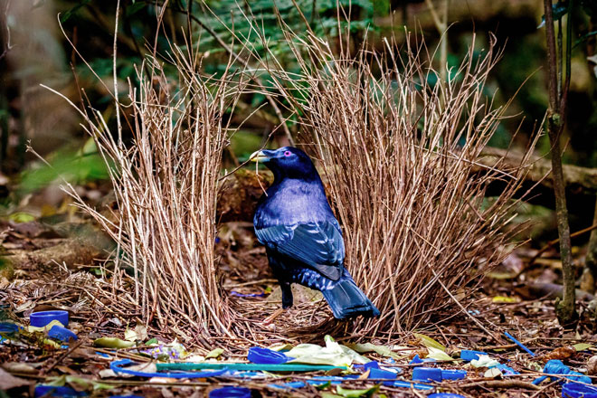 Male Satin Bowerbirds must master many skills
