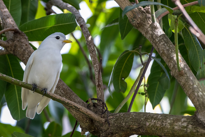 Helping save Yellow-billed Cotinga in Costa Rica