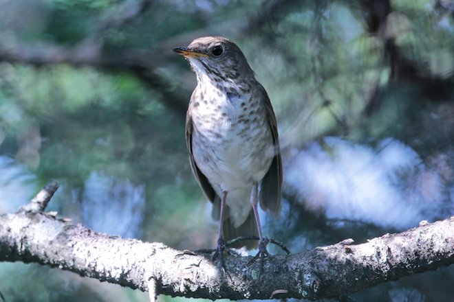 Researchers create private reserve in Dominican Republic for Bicknell's Thrush