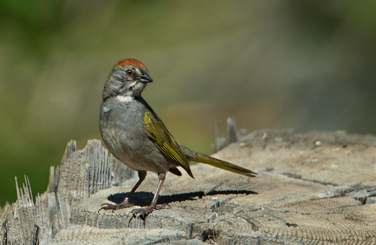 See where Green-tailed Towhee were spotted