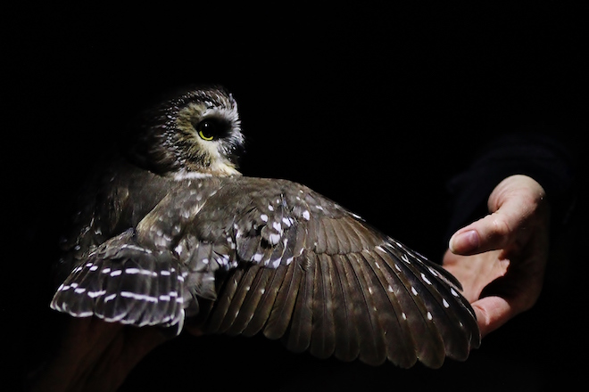 the thrills of a saw whet owl banding station birdwatching