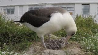 Wisdom, Laysan Albatross