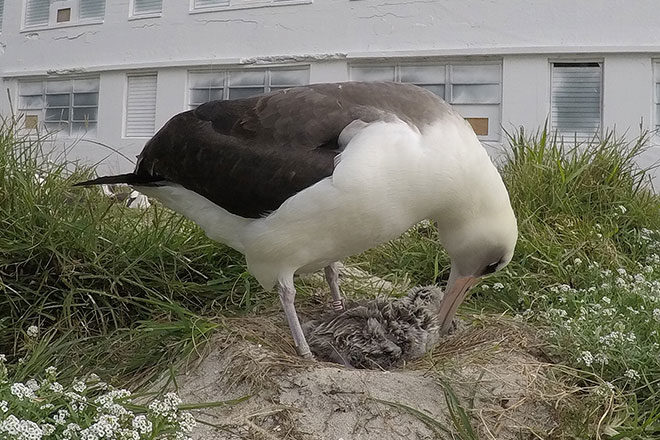 Albatrosses now lead-free on Midway