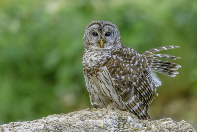 Barred Owls' move to the 'burbs gets researcher's attention