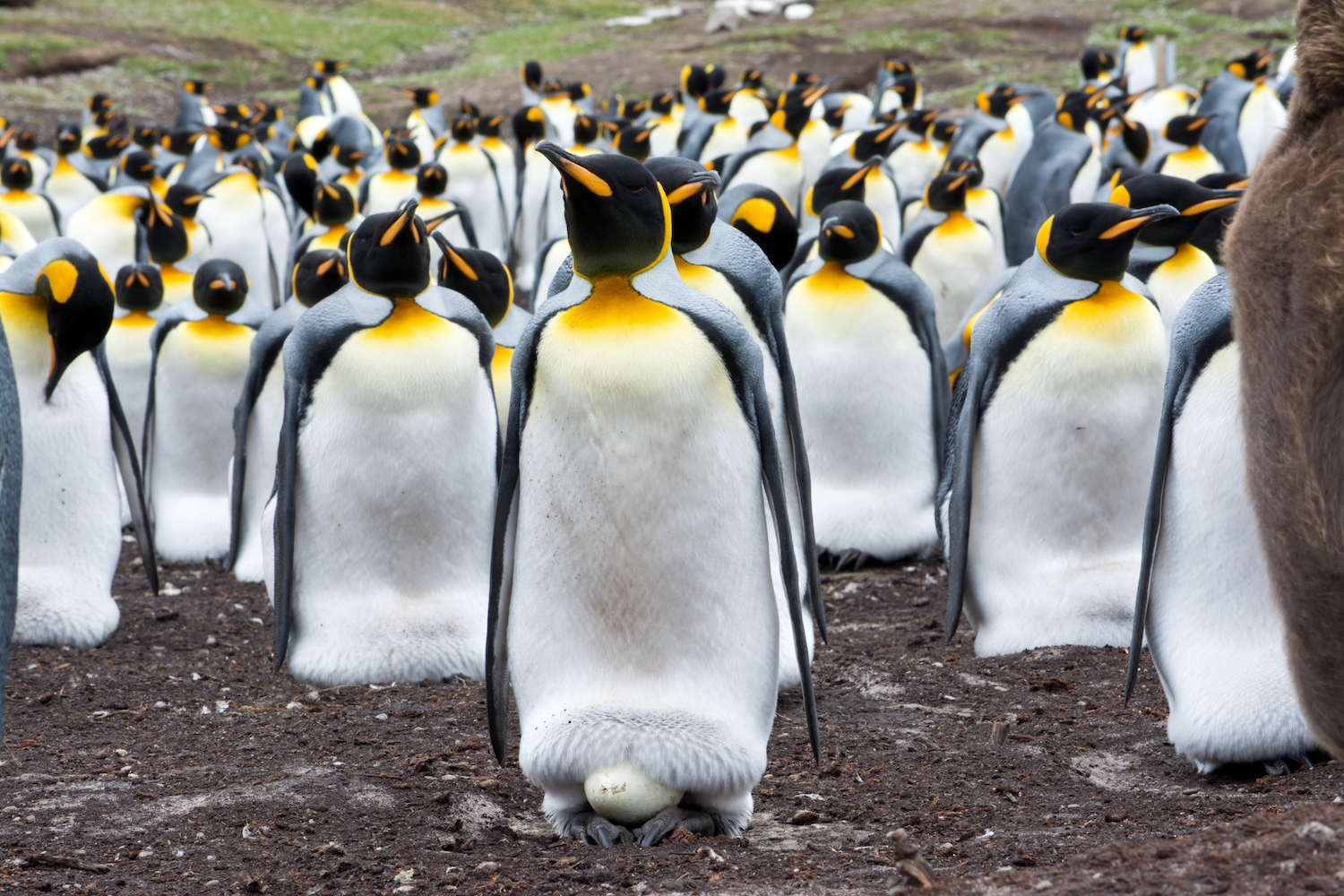 World's largest King Penguin colony has shrunk nearly 90%