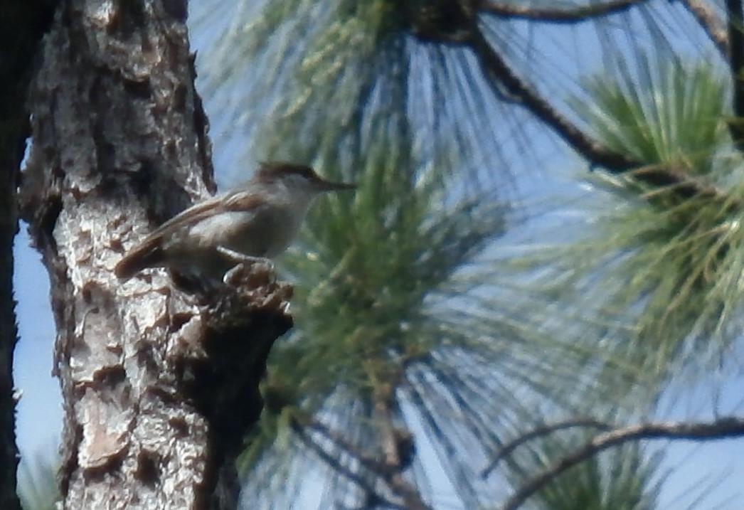Bahama Nuthatch, feared extinct, rediscovered on Grand Bahama Island