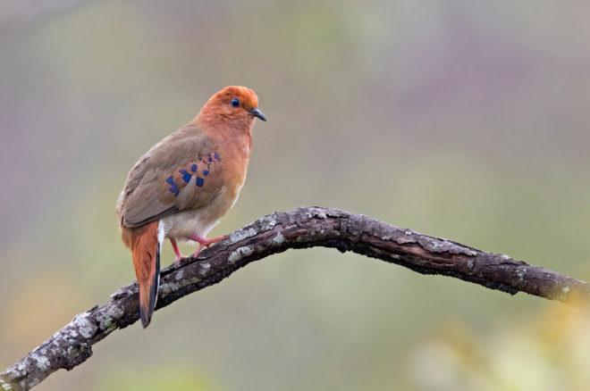 Blue-eyed Ground-Dove