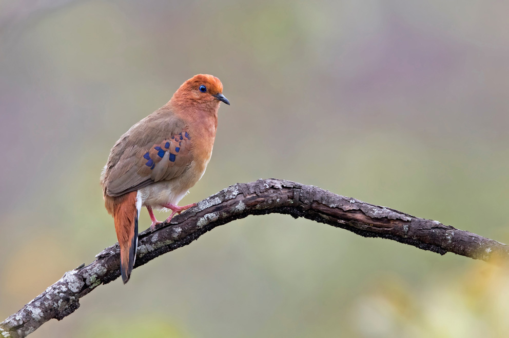 Conservation efforts in Brazil spark new hope for rare ground-dove