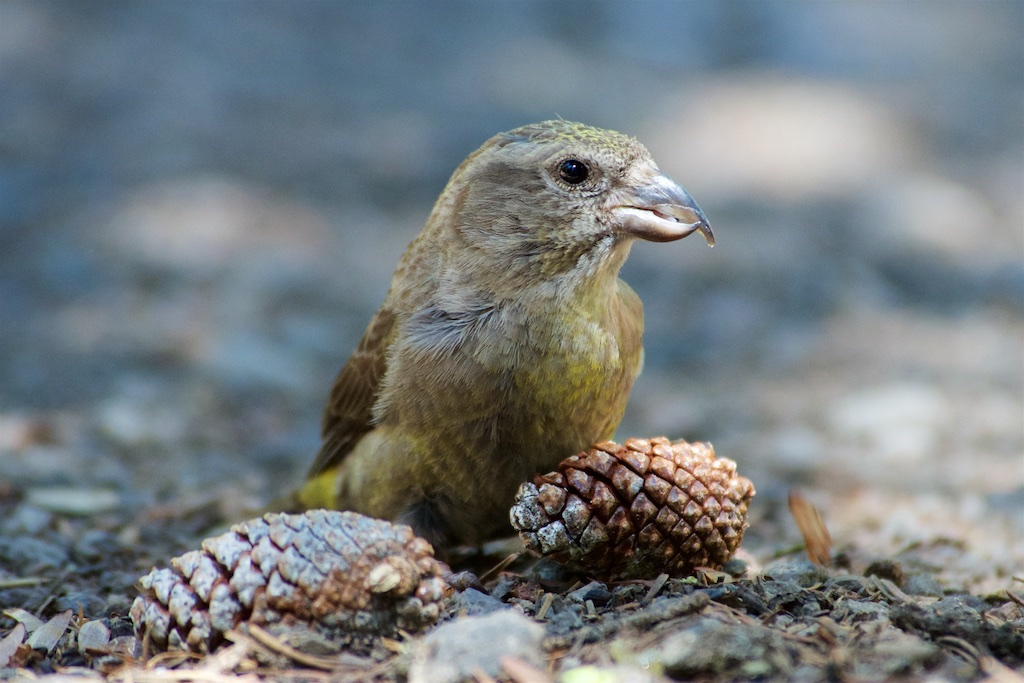 Study: Cassia Crossbill among North America's 'more imperiled birds'