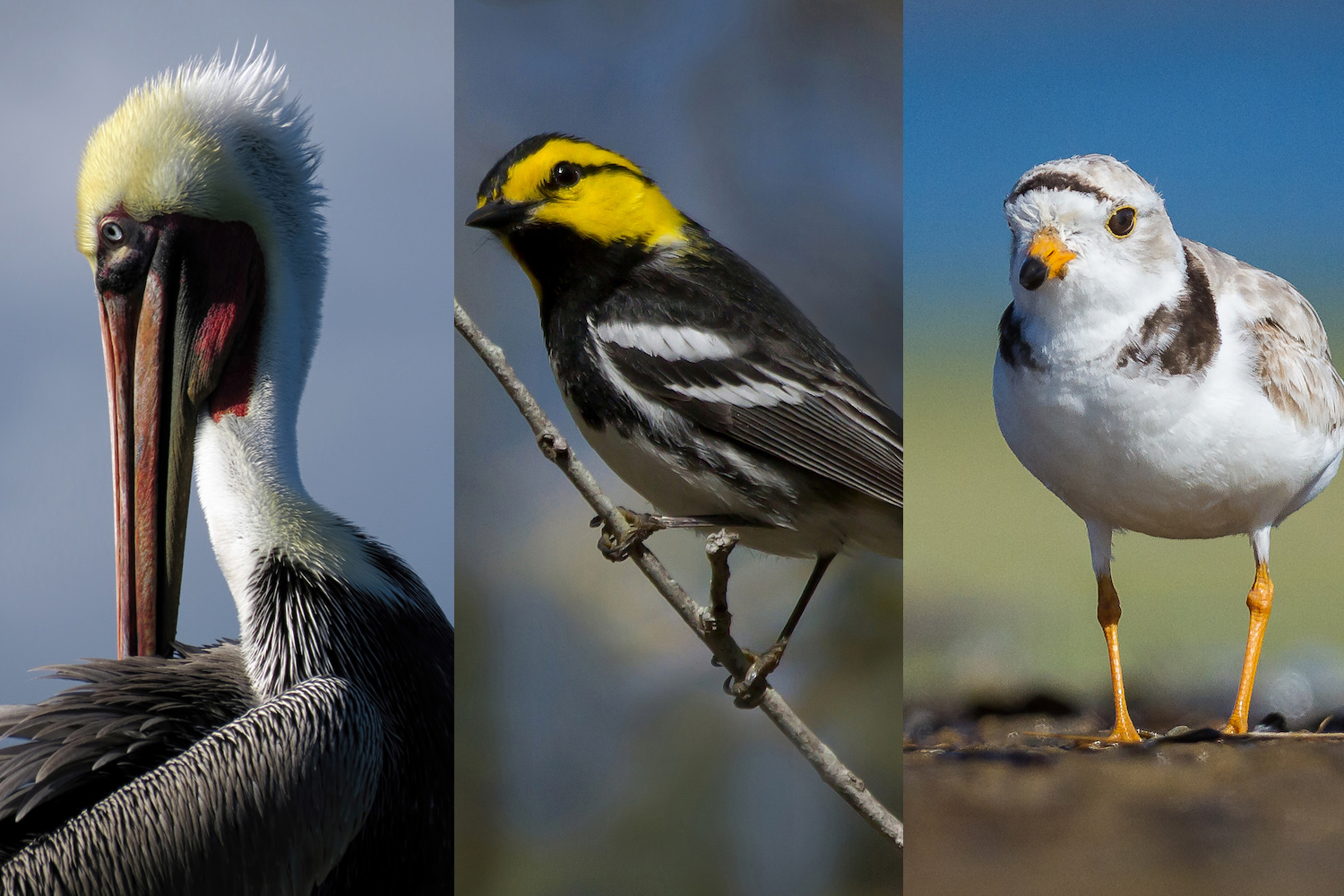 10 bird species that are still here thanks to the Endangered Species Act