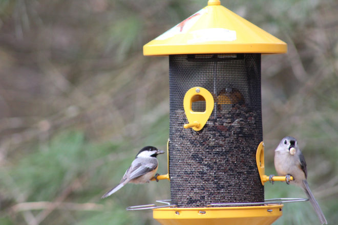 Black-capped Chickadee and Tufted Titmouse