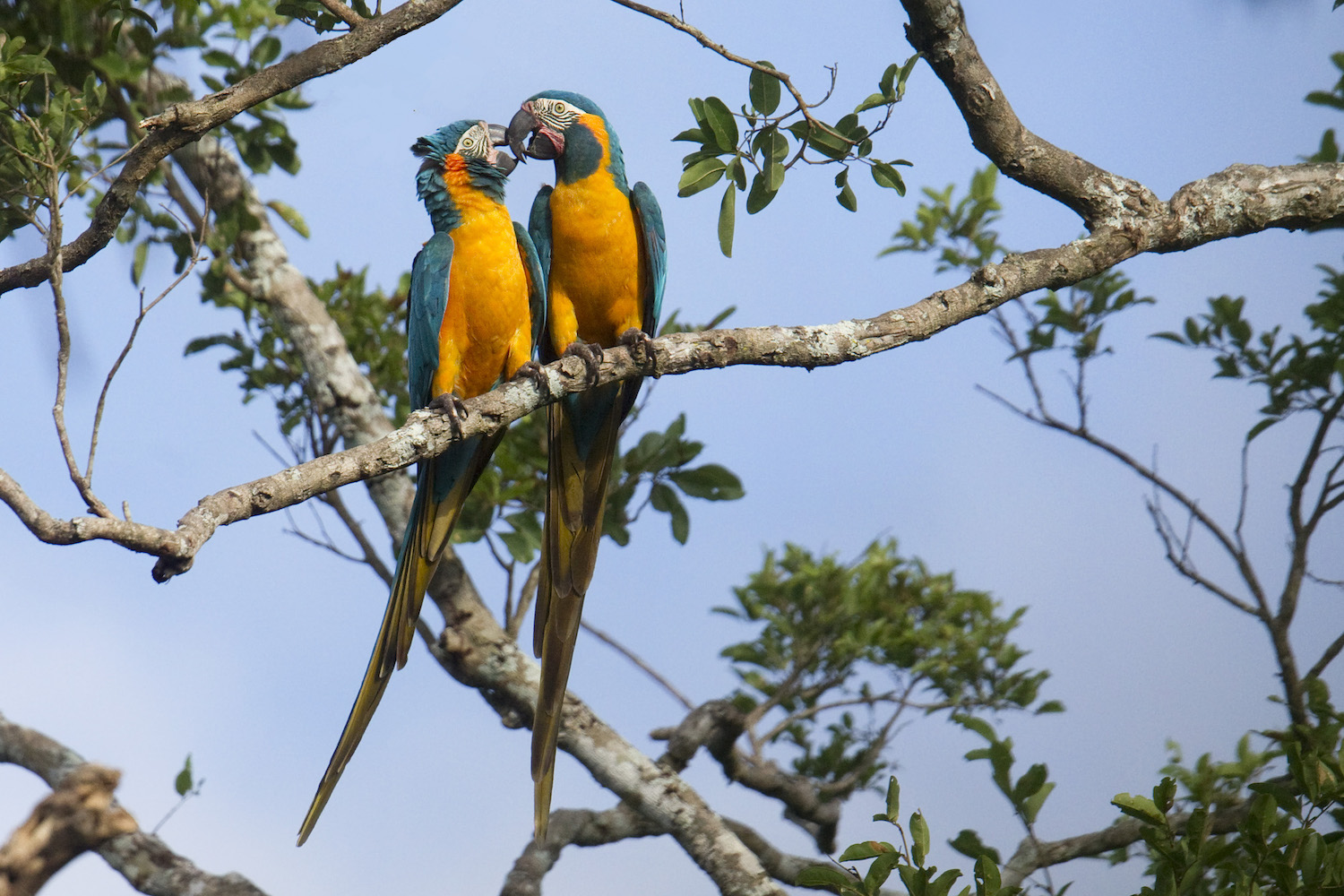 New reserve in Bolivia for endangered macaws