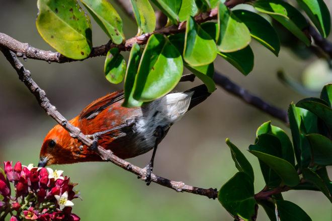 'Apapane - BirdWatching