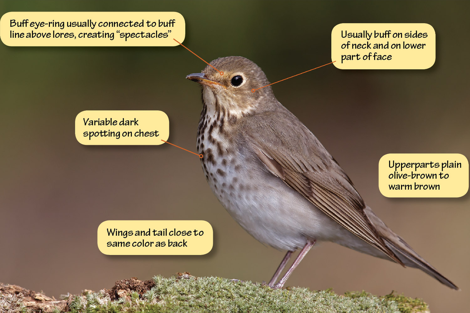 Identifying Swainson's Thrush, Gray-cheeked Thrush, and Hermit Thrush