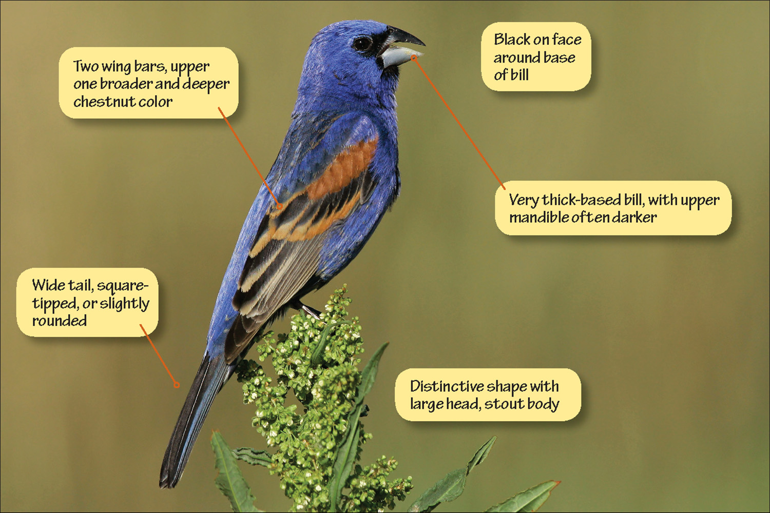 Identifying Blue Grosbeak and Indigo Bunting