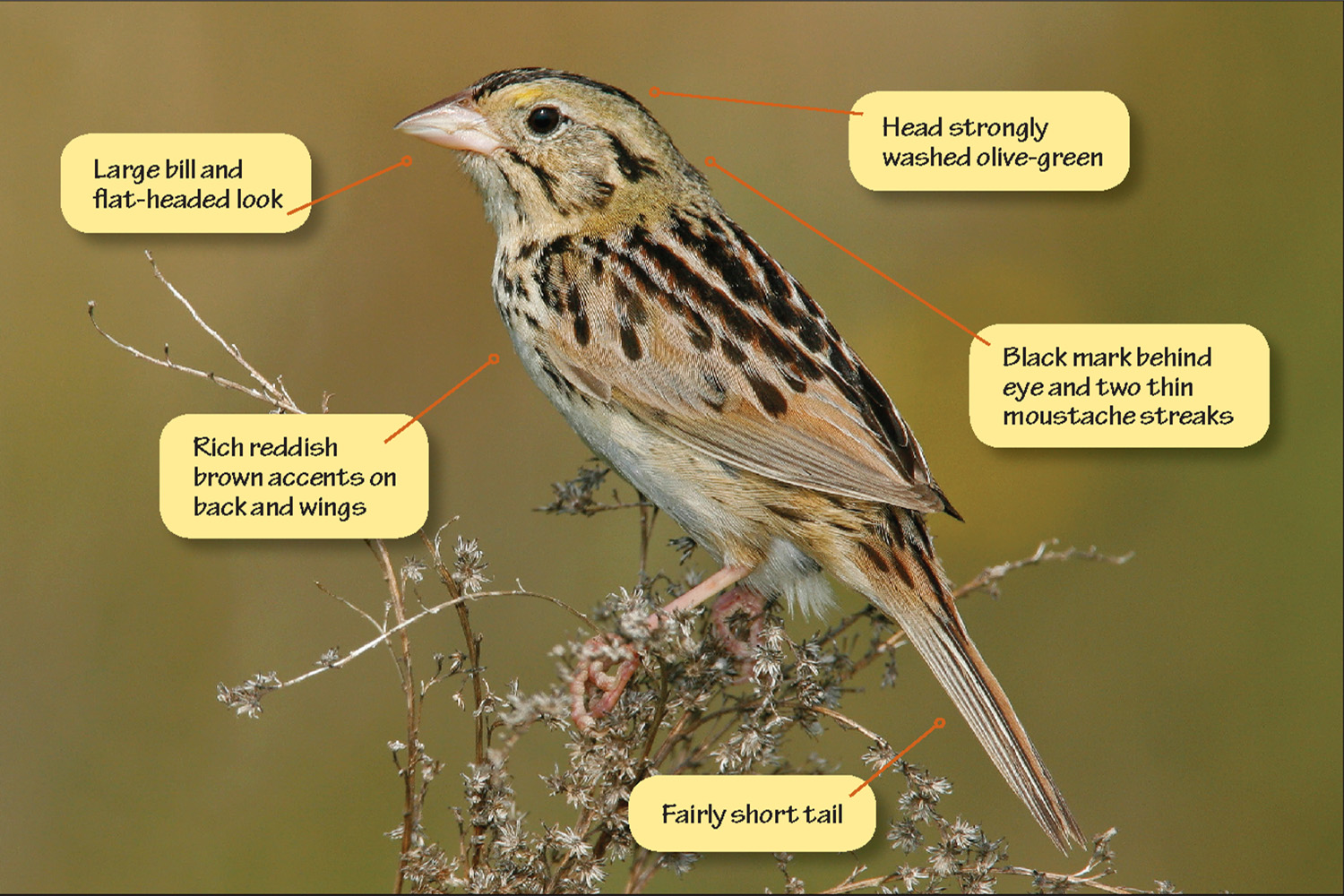 Identifying Henslow's Sparrow, Grasshopper Sparrow, and Baird's Sparrow