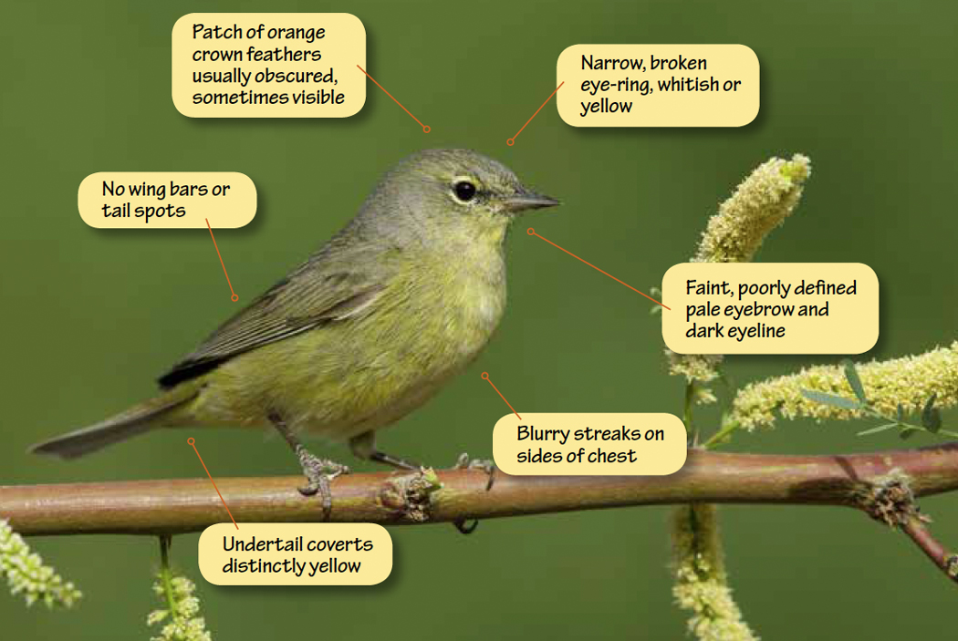 Identifying Orange-crowned Warbler and Tennessee Warbler