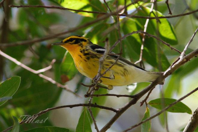 Maps from eBird track Blackburnian Warbler in fall - BirdWatching