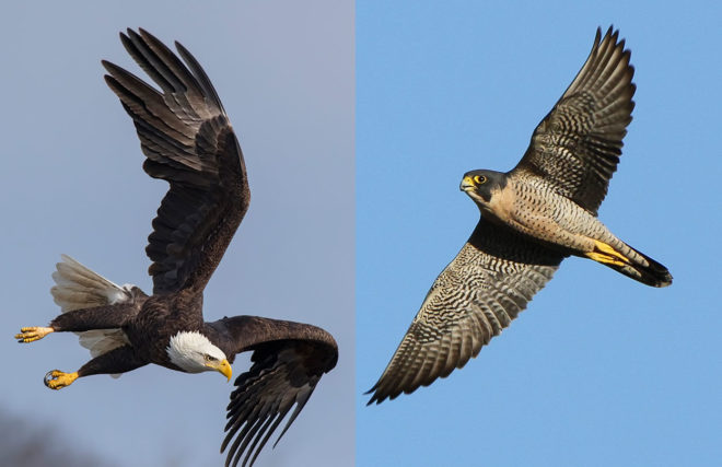 Bald Eagle and Peregrine Falcon