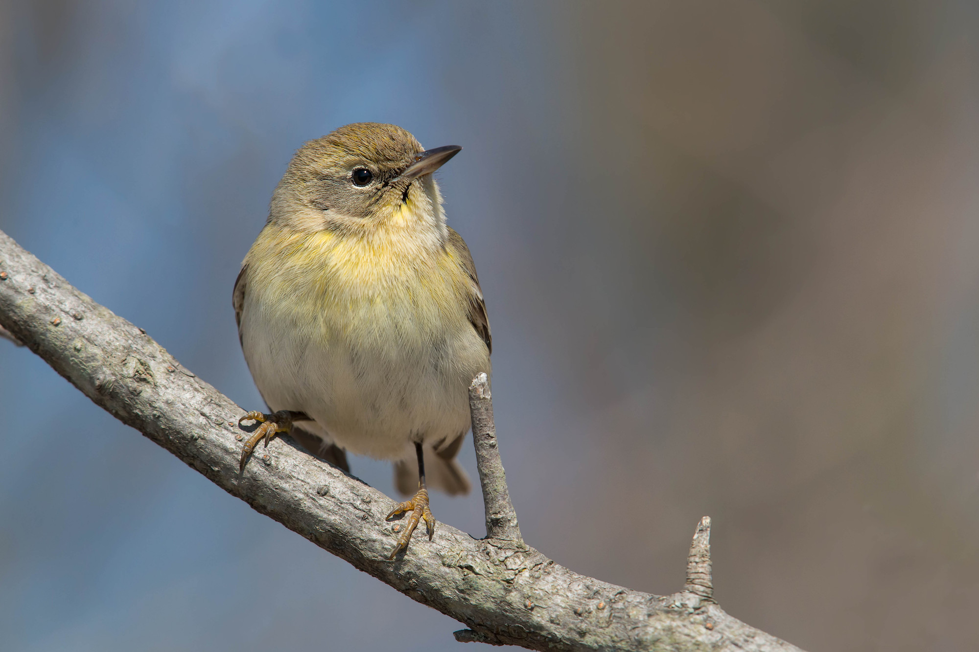Download our guide to fall warbler ID