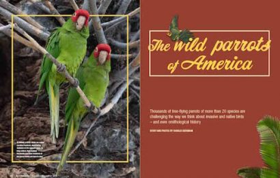 The wild parrots of America