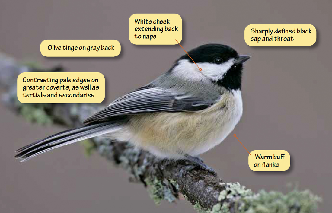 Identifying Black-capped Chickadee, Carolina Chickadee