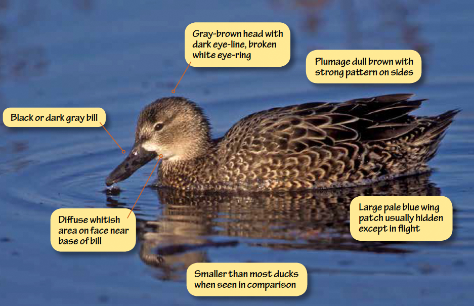 Identifying Blue-winged Teal, Green-winged Teal, and Cinnamon Teal