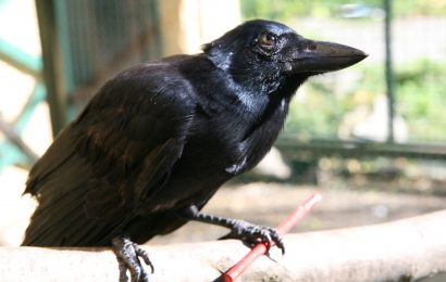 Study: New Caledonian Crows can create compound tools