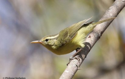 New leaf-warbler discovered in Indonesia