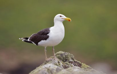 Overcoming gull-ID phobia