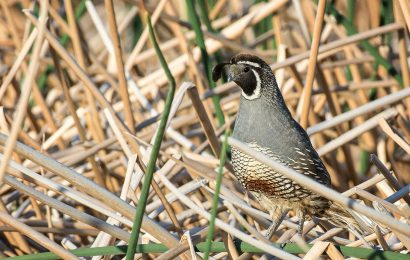 Not looking for lawns: Quail want plants that provide food and cover