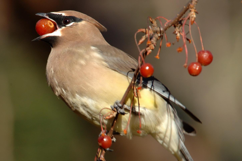 BirdWatching experts help explain 'drunk birds' phenomenon