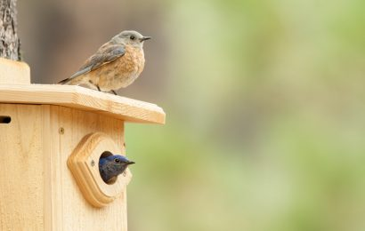 A wasp nest and a dead bluebird in a nest box