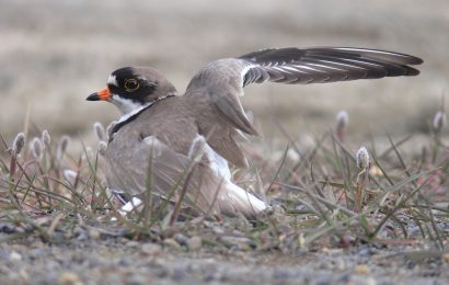 Increase in shorebird nest predation tied to climate change