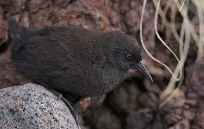Researchers unravel origins of world's smallest flightless bird