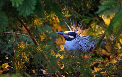 Yellow-crowned Night-Heron adjusts its migration pattern to fiddler crabs