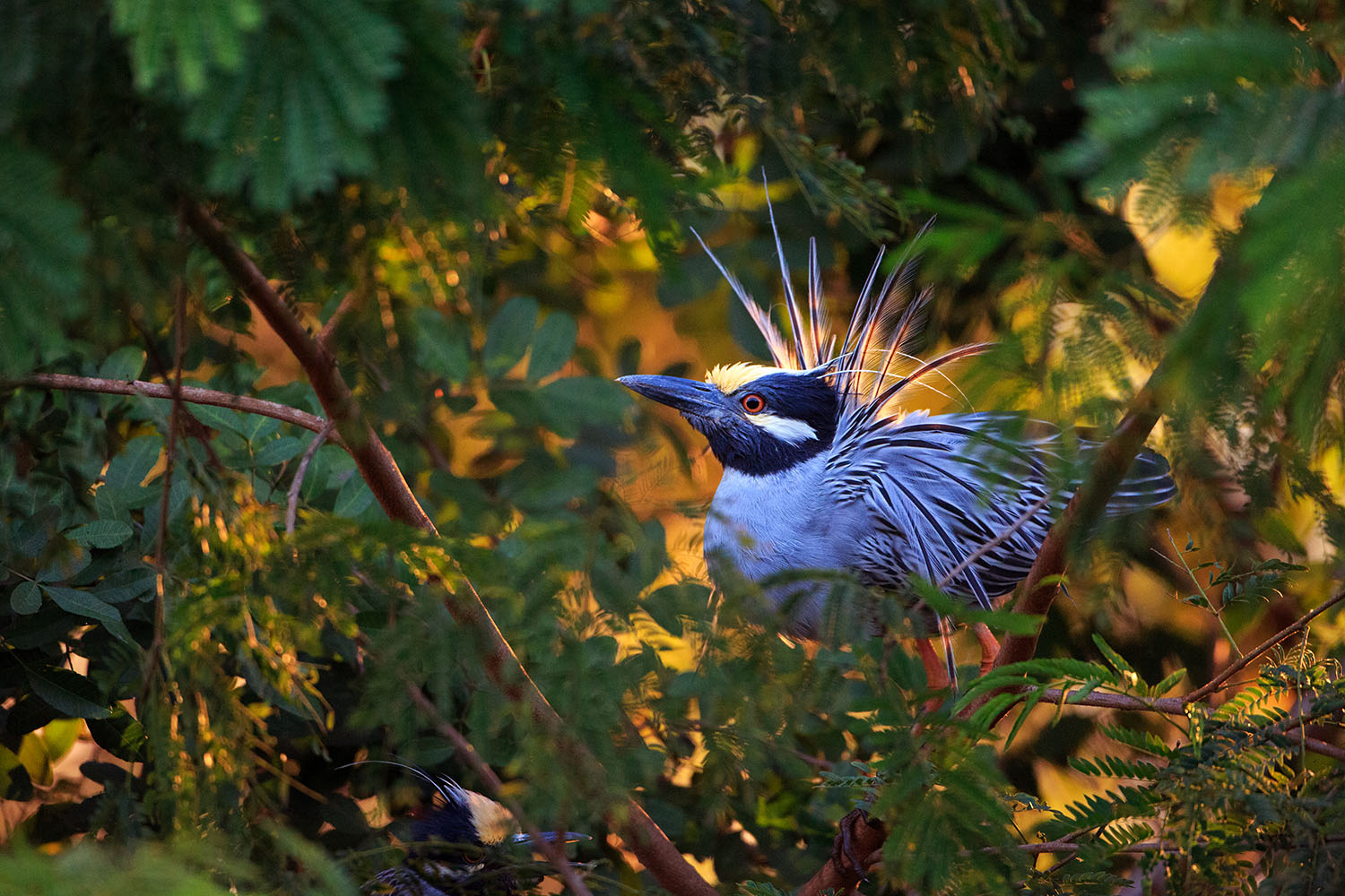 edfdb87315ab4 Yellow-crowned Night-Heron adjusts its migration pattern to fiddler ...