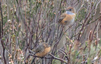 Southern Emu-wrens