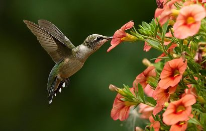 Tips and techniques for taking photos of hummingbirds