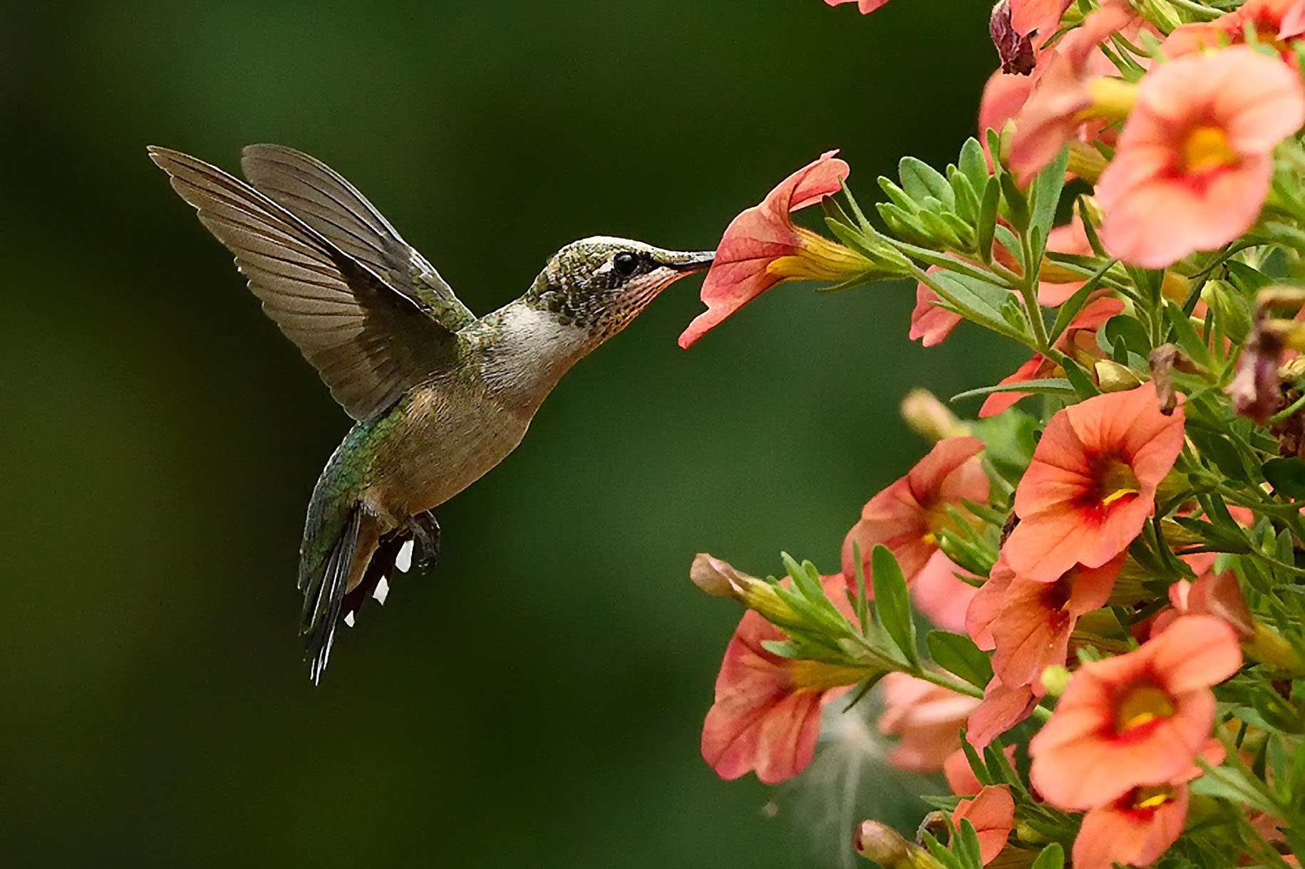 Tips and techniques for taking photos of hummingbirds ...