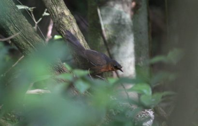 'World's rarest bird' sighted in Brazil