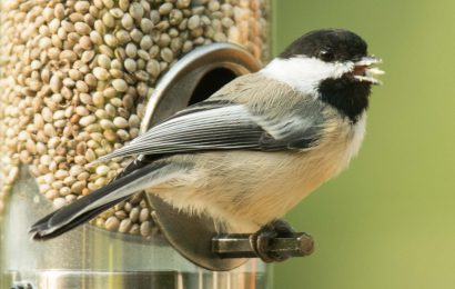 Some day, you may be able to offer hemp seed as bird food