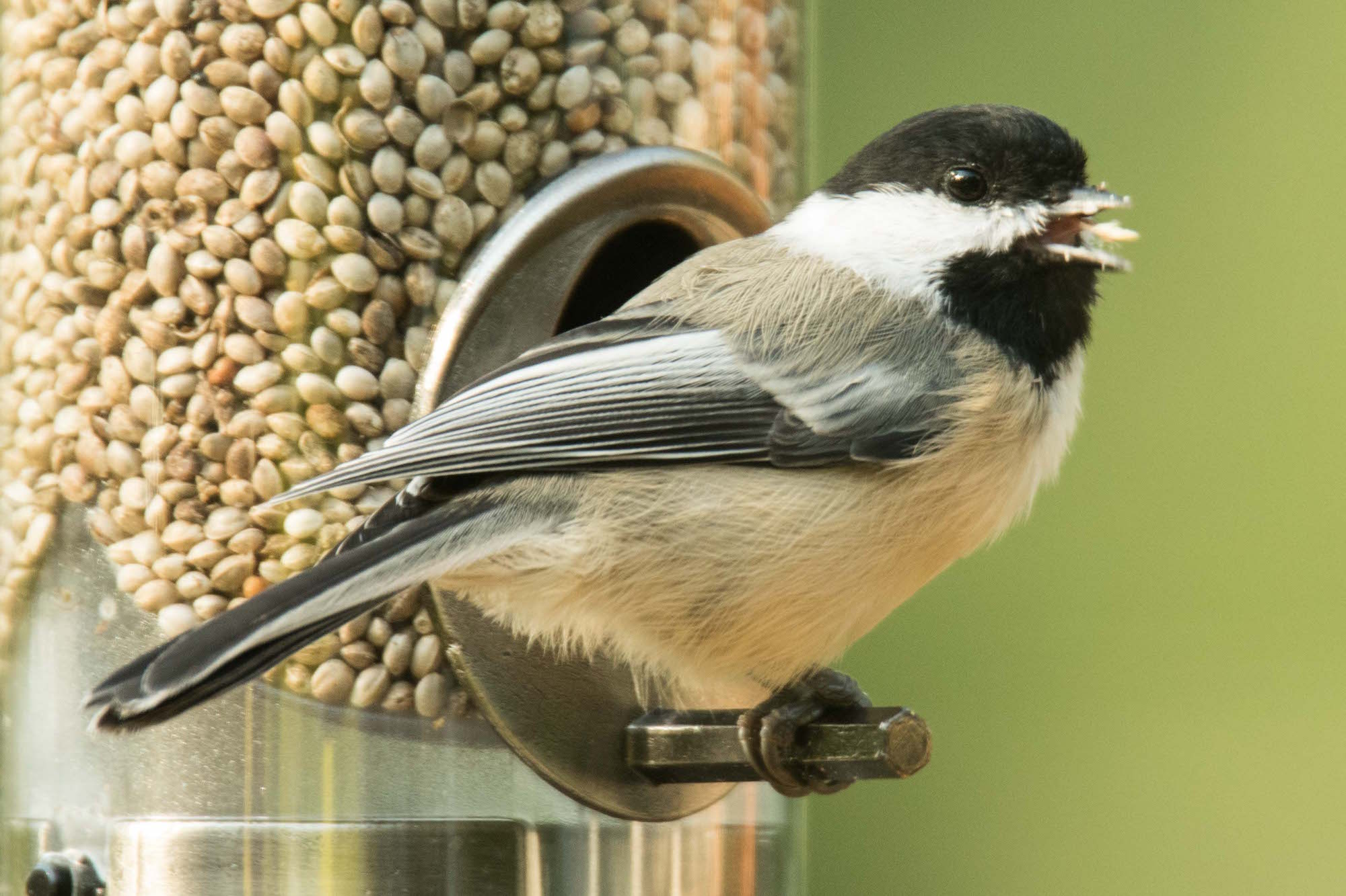 A Black-capped Chickadee eats a hemp seed from a feeder. Photo by Carrol  Henderson